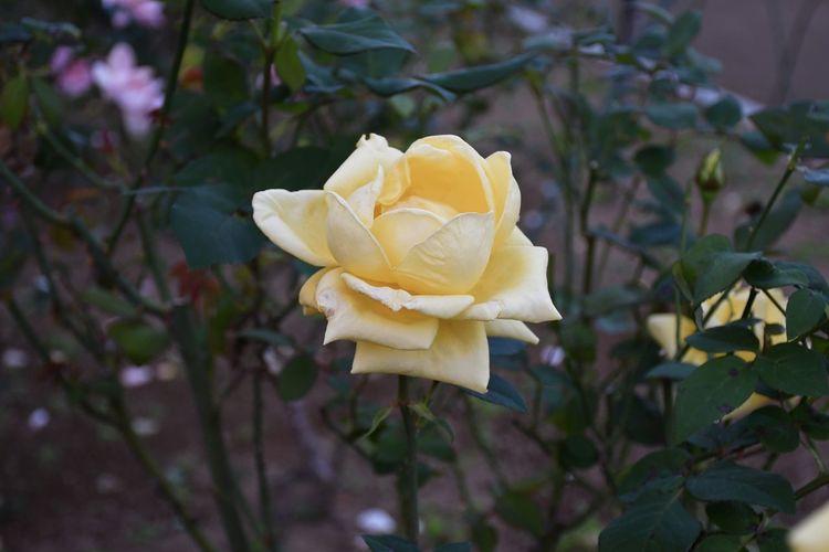 Rose - Flower Flower Head Yellow EyeEm Best Shots - Flowers