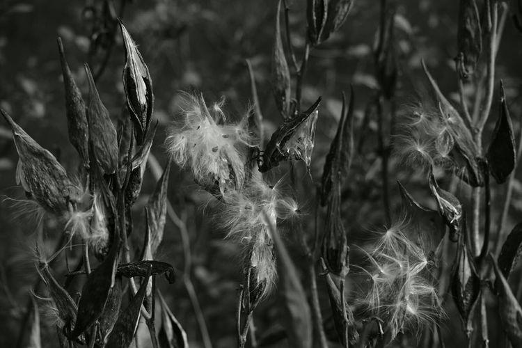 Nature Deadflowers Makeawishandblow Dandelions Monochrome Monochromeart Monocrome Eyeem Monochrome Blackandwhite Photography Eyemphotography Nikonphotography Tadaa Community Check This Out EyeEm Best Shots