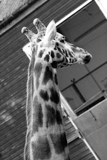 Animal Head  Animal Themes Dudley Zoo Giraffe Herbivorous Mammal Zoology Animal Photography Animal Head  Zoophotography Zooanimals Zoo Animals  Zoo Animal Zoo Photography  Dudley Giraffes Giraffe♥ Giraffe ♡ Giraffes! EyeEm Animal Lover Zoo Day Wildlife Photography EyeEm Best Shots EyeEm Gallery EyeEmBestPics