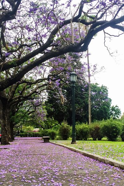 Textures And Surfaces Jacaranda Tree Flower Nature Blossom Growth Beauty In Nature Springtime Fragility Botany No People Branch Tranquility Outdoors Tranquil Scene Freshness Pink Color Purple Day Scenics Petal