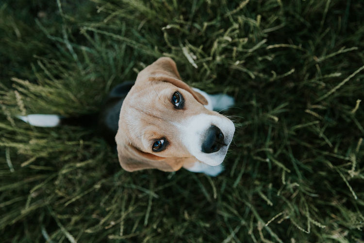 Nuca the beagle Dogs Puppy Love Animal Themes Beagle Close-up Day Dog Domestic Animals Eyes Grass High Angle View Mammal Nature No People One Animal Outdoors Pets Portrait Puppies Puppy