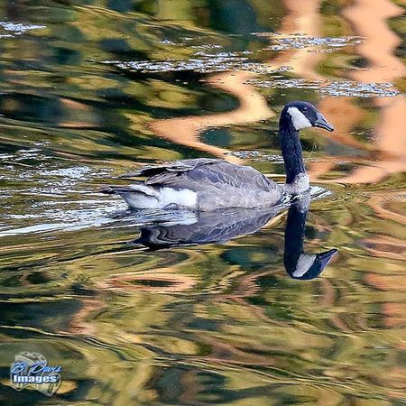 Water Reflection Outdoorlife Nature_shooters Wildlife Waterfowl Canadiangoose Bd_birds Bd_nature Canon_official