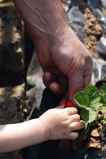Close-up of hands picking strawberry on field