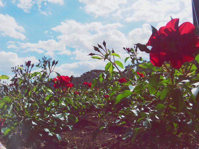 RedFlower Rose🌹 Spring Flowers Flowers Kırmızı Bahar Bulut☁ çiçek Bahçesi