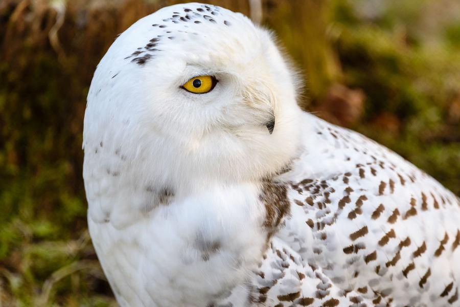 Tiere/Animals Wildlife & Nature Wildlife Photography Wildpark Alte Fasanerie No People Schneeeule Snow Owl