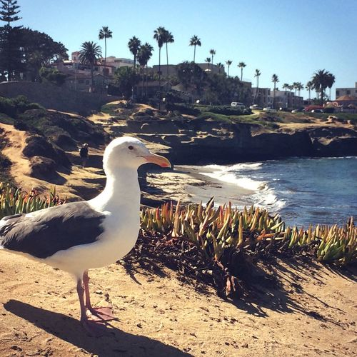 California Lajolla Beautiful Nature Taking Photos Colors Beach Life Beachphotography Nature_collection Love ♥ Palm Trees MyPhotography Sea Relaxing Beautiful Day Loveit Peaceful