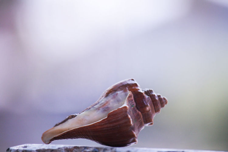 Animal Animal Shell Animal Themes Animal Wildlife Animals In The Wild Beauty In Nature Close-up Copy Space Focus On Foreground Indoors  Marine Nature No People One Animal Sea Shell Soft Focus Studio Shot Vulnerability  Water