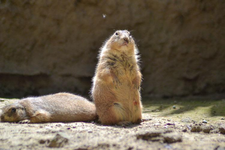 Fight Africam Safari Animal Wildlife Close-up Nature Prairie Dogs Prairiedog Rodent Winner