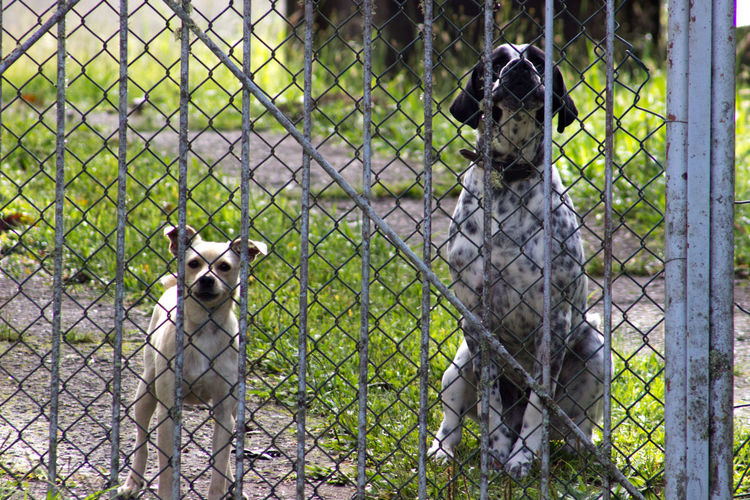 Dogs on field seen through chainlink fence