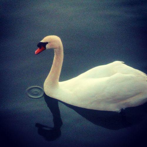 Bird Swan Full