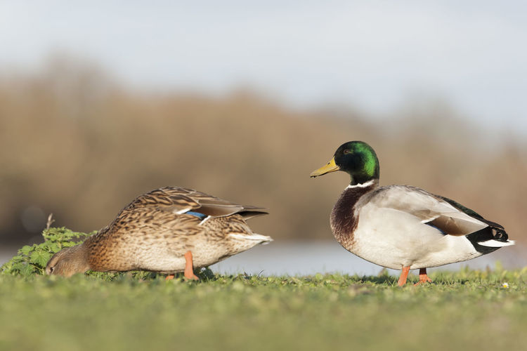 Side view of mallard ducks on field