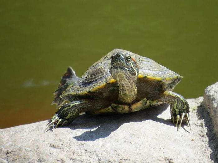 Hello? Reptile And Amphibian Red Ear Turtle Turtle Reptile Close-up Nature Sunlight No People Day Rock - Object Rock Shadow