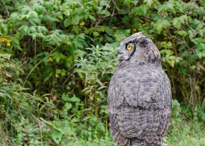 Great Horned Owl with stunning yellow eyes Animal Themes Animal Wildlife Animals In The Wild Bird Bird Of Prey Bird Photography Canada Close-up Day EyeEm Nature Lover Forest Great Horned Owl Hunter Looking Sideways Nature No People One Animal Outdoors Owl Stunning Wildlife Yellow Eyes
