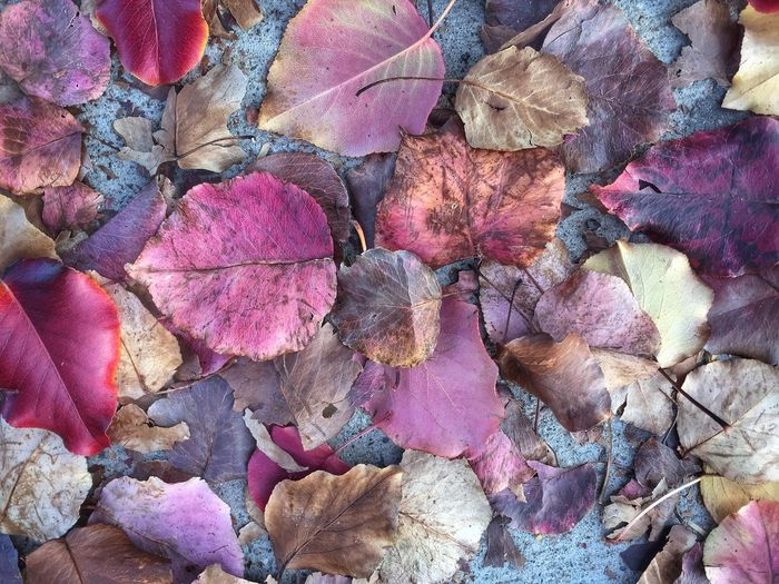 Beauty In Nature Autumn Change Backgrounds Leaf No People Abundance Full Frame Nature Large Group Of Objects Leaves Close-up IPhone Iphone6plus