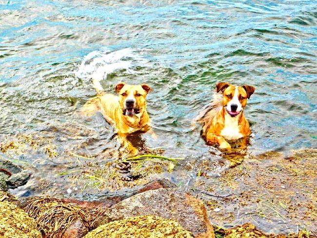 my gorgeous pups ❤Bliss❤ Femalephotographer Femalephotographerofthemonth Nikonl840 Dogs Swimming Lake Macquarie My Pittys❤ I Love My Pittbull ❤ I Love My Pitbull ❤ Pitbulls