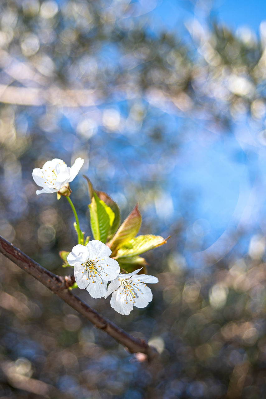 CLOSE-UP OF WHITE CHERRY BLOSSOMS