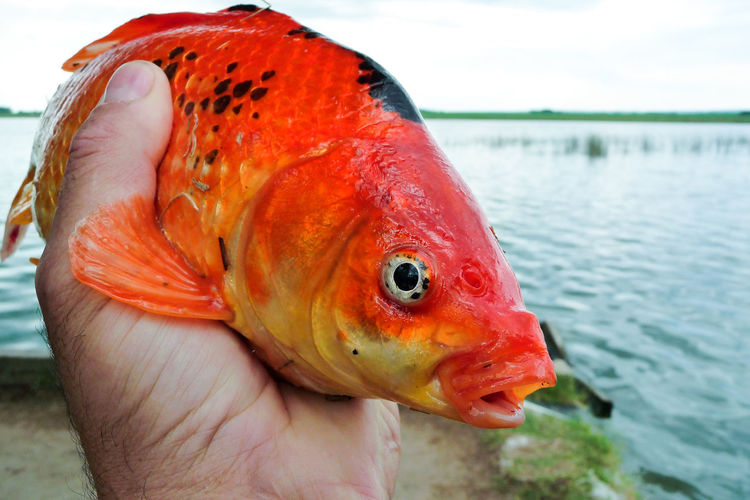Animal Themes Animals In The Wild Close-up Day Eyes Eyes Fish Fish Fish In The Hand Fishing Focus On Foreground Food Food And Drink Human Body Part Human Hand Nature One Animal One Person Orange Fish Outdoors People Real People Sea Life Water