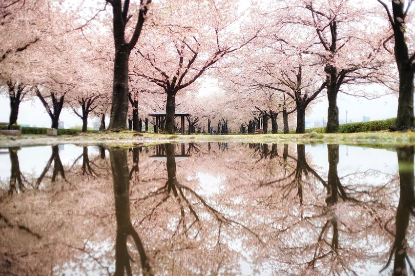 Capture The Moment Uzukiの桜 Spring Water Reflections Sakura Fantasy Cherry Blossom Reflection Beauty In Nature Tranquility Fine Art Symmetry Snapshots Of Life Nature Uzuki Of The Flower Landscapes Depth Of Field Fragility Still Life Full Frame SONY A7ii Detail Oldlens ROKKOR EyeEm Best Shots 17_04 EyeEmNewHere