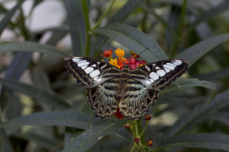 Clipper butterfly - Parthenos sylvia Butterfly ❤ Clipper Parthenos Sylvia Butterfly Butterfly - Insect Butterfly Collection One Animal Tropical Butterfly
