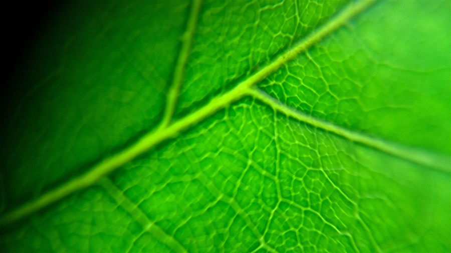 Green Veins Animal Themes Backgrounds Beauty In Nature Close-up Day Fragility Freshness Full Frame Green Color Growth Leaf Nature No People Outdoors Plant