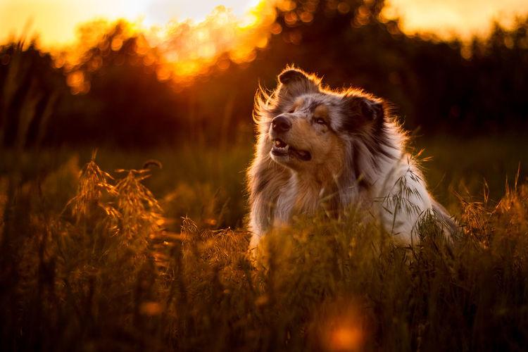 EyeEmNewHere Rough Collie Animal Animal Head  Animal Themes Canine Collie Dog Land Looking One Animal Pets Purebred Dog Sunset
