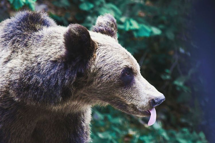 Close-up of a brown bear sticking out its tongue