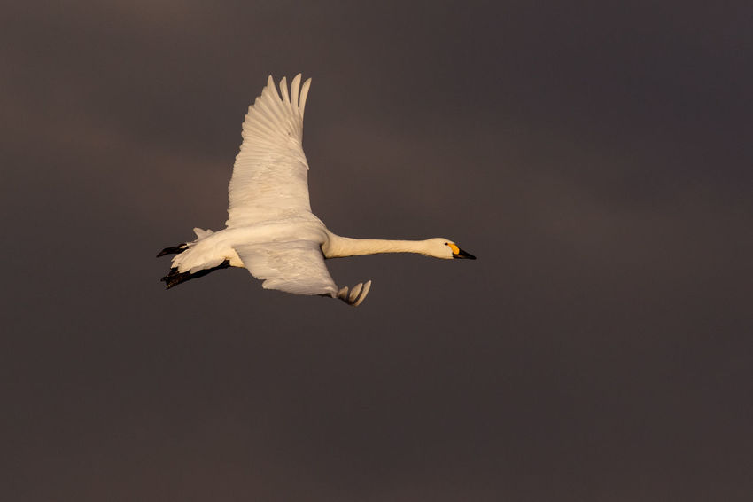 Animal Themes Animal Wildlife Animals In The Wild Bewick's Swan Bird Bird Migration Cygnus Bewickii Cygnus Columbianus Endagered Species Flying No People One Animal Outdoors Spread Wings Wintertime