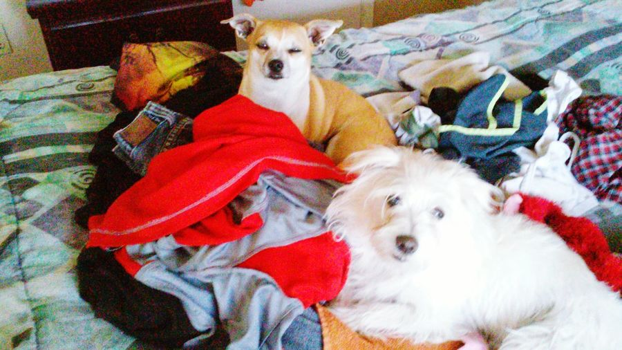EyeEmAnimalLover Chihuahua Love ♥ Cute Pets Folding Clothes ChoresChoresChores Mylilhelper Nothing like a warm pile of clothes!!!