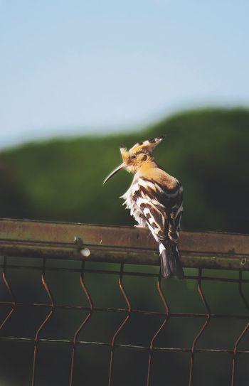 Hoopoe Bird Birds Of EyeEm  Hoopoe Birds Of EyeEm  Bird Photography EyeEm Selects Vulture Perching Yellow Eyes