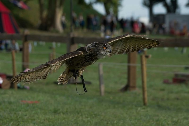 Close-Up Of Eagle Owl Flying At Park