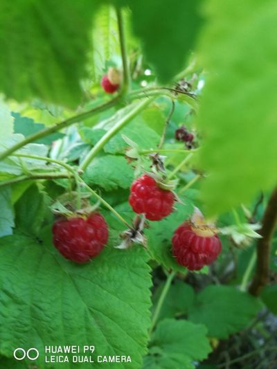 Fruit Red No People Leaf Healthy Eating Plant Raspberry♥