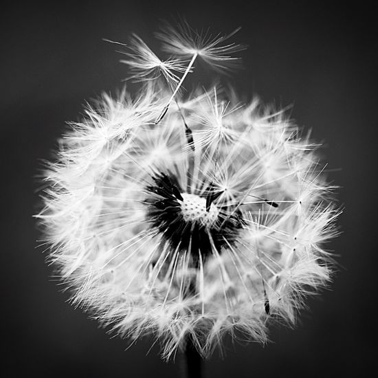 Freshness Fragility Dandelion Inflorescence Flower Head Close-up Plant Vulnerability  Beauty In Nature Dandelion Seed No People Nature Growth Softness Uncultivated White Color Outdoors