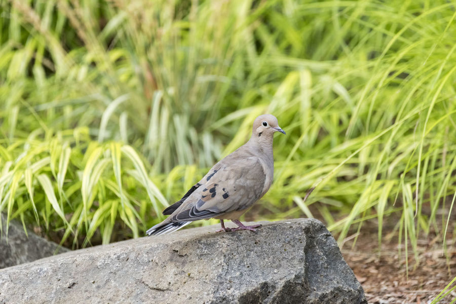 Dove Animal Animal Themes Animal Wildlife Animals In The Wild Bird Close-up Day Dove - Bird Focus On Foreground Grass Green Color Mourning Dove Nature No People One Animal Outdoors Perching Plant Solid Vertebrate