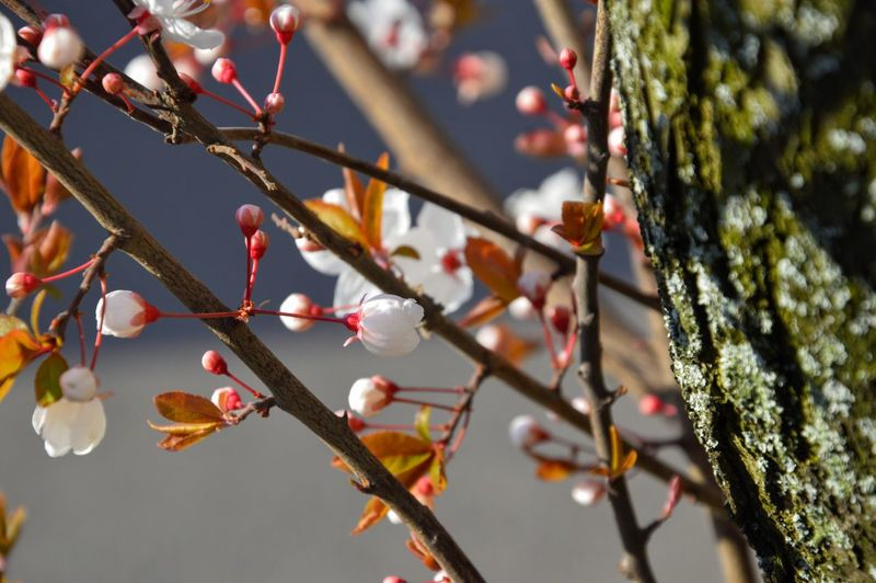 Low Angle View Of Cherry Blossom Growing On Tree