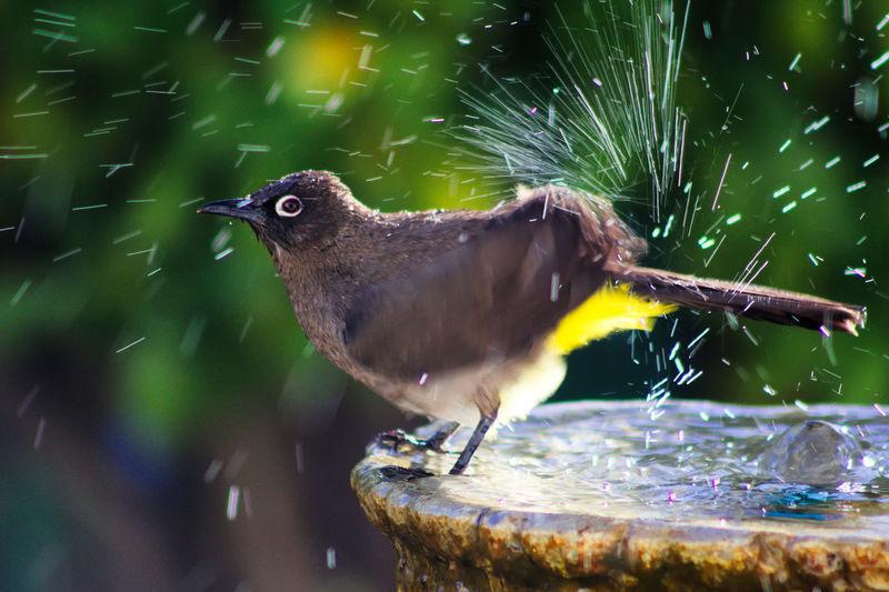 Side View Of Bird Shaking Water On Birdbath