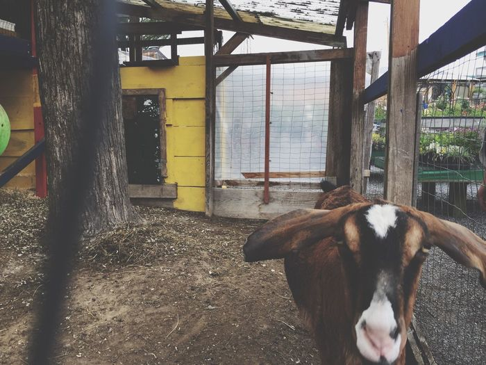 Domestic Animals Mammal Animal Themes One Animal Day No People Goat