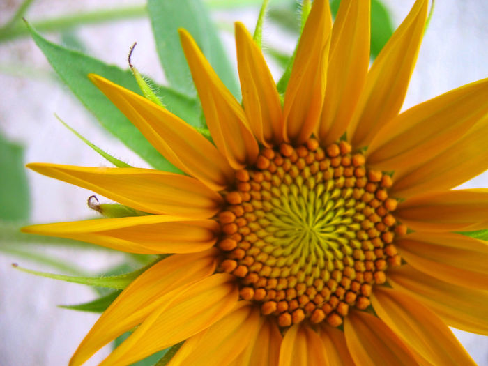 Beauty In Nature Black-eyed Susan Blooming Close-up Coneflower Day Flower Flower Head Fragility Freshness Growth Nature No People Outdoors Petal Plant Pollen Springtime Yellow