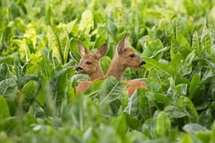 Fawns Amidst Leaves