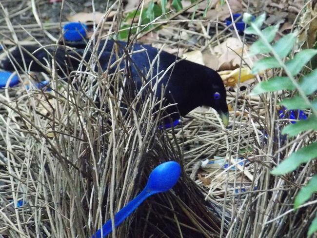 Birds_collection Blue Blue Collection Bluespoon Bower Bowerbird Nature_collection Satin Spoon