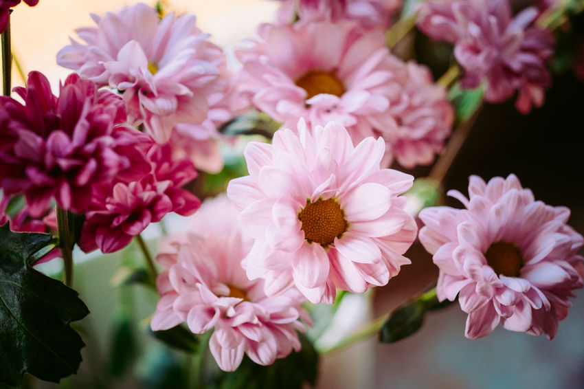Beauty In Nature Close-up Day Flower Flower Head Fragility Freshness Fuji-xe2s Growth Nature No People Outdoors Petal Pink Color Plant Tenebrio.photos Zeiss60mm Millennial Pink
