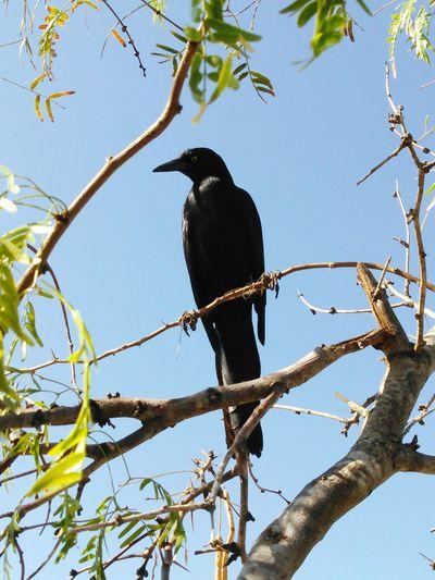 My Best Photo 2015 Captain Jack The Black Crackle Bird My Island Follower
