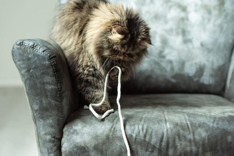 portrait of a cat Pet Pets Playing Close-up Whisker Cat Domestic Cat Feline Maine Coon Cat Big Cat Kitten