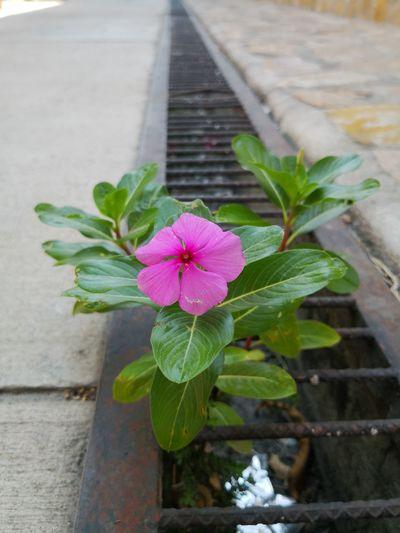 Foto Celular Flower Head Flower Periwinkle Leaf Water Close-up Plant Architecture Green Color Zinnia  Flowering Plant Plant Life Botanical Garden Botany Tropical Flower Petal