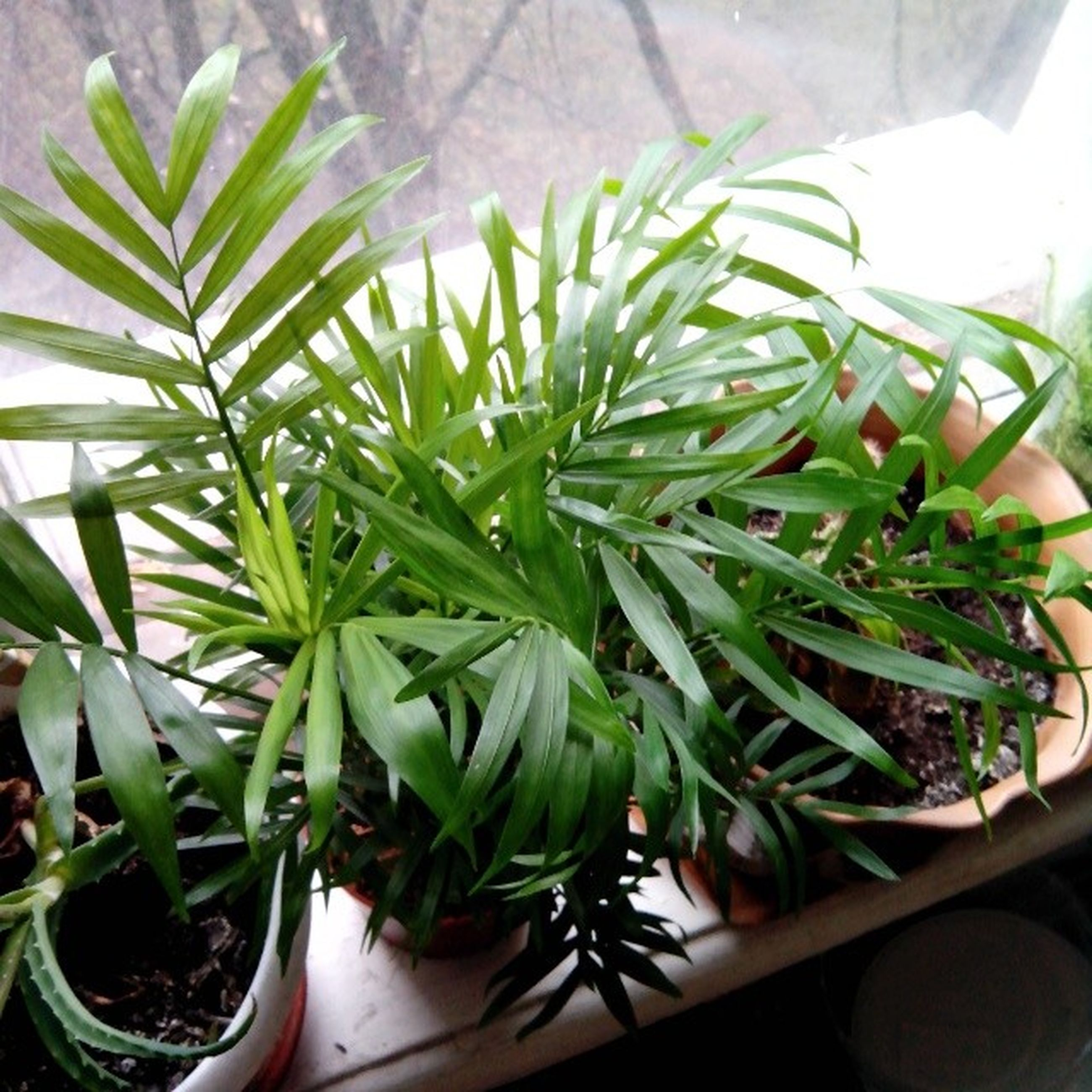 potted plant, plant, green color, leaf, indoors, growth, freshness, close-up, high angle view, food and drink, healthy eating, green, table, nature, no people, vegetable, home interior, day, food, growing