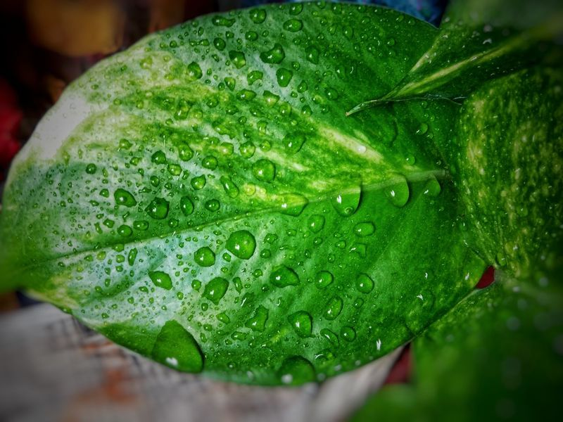 water on leaf Nature Nature_collection Naturelovers Wet Leaves Water On Leaf Leaves Green Color Fragility Wet No People Nature Leaf Freshness Growth Beauty In Nature Plant Drop Day Water Close-up Outdoors EyeEmNewHere