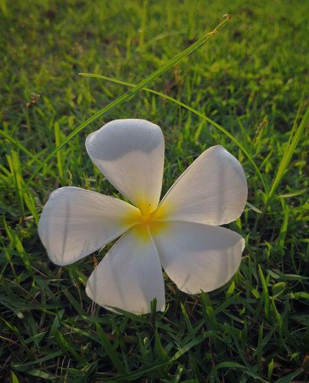 Plumeria Plumeria Flower Flower Collection Flower On The Grass Sunset Flower White Flower Lovely Flower  White Petals Plumeria White Flowers,Plants & Garden Inmygarden Flower Head Flower Close-up Grass