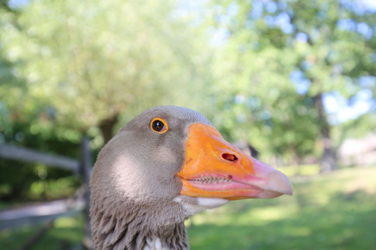 Animal Themes Animal Wildlife Animals In The Wild Beak Beauty In Nature Bird Close-up Day Focus On Foreground Goose Nature No People One Animal Outdoors Watching At You