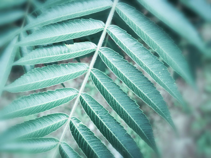 Staghorn sumac leaves, rhus typhina Leaf Full Frame Backgrounds Close-up Plant Green Color Leaf Vein Natural Pattern Leaves Plant Life Botany