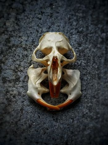 Animal Skull Close-up No People Sand Beach Day Indoors  Nature Weird Surreal Surrealism Curiosities Oddities Biology Unusual Abstract Art Beauty In Nature Nature Strange Bizzare Fragility Bones