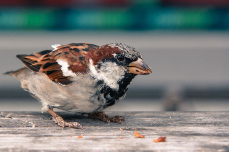 Animal Themes Animal Wildlife Bird Bird Photography Birds Birds Of EyeEm  Birds_collection Close-up Day Feeding  Food Grain Nature Nature_collection Naturelovers No People Outdoors Plum Wings